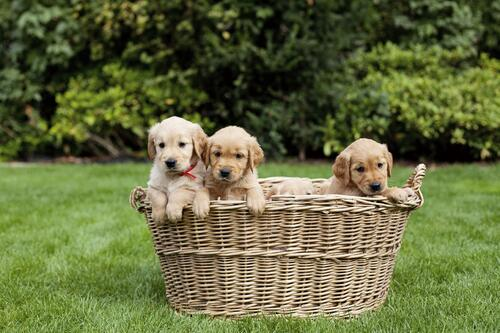 golden-retriever-puppies-basket.jpg